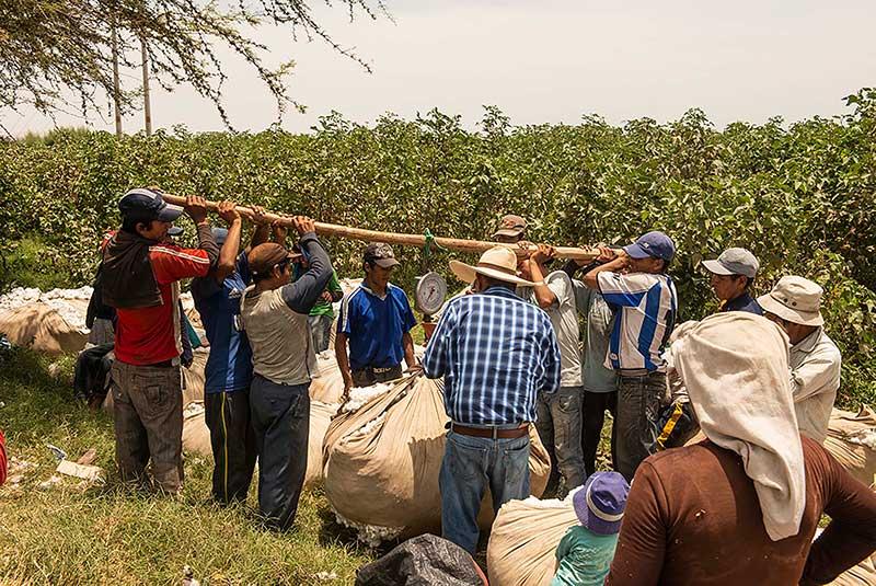 agriculteurs qui pèsent leur coton récolté à la main - pitumarka