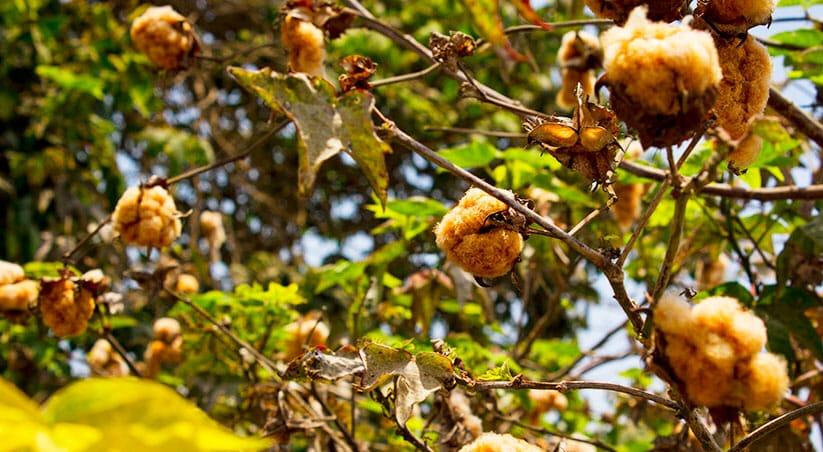coton sauvage amazonie pitumarka