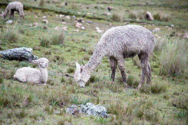 alpaga mère qui mange avec son enfant à ses côtés - pitumarka