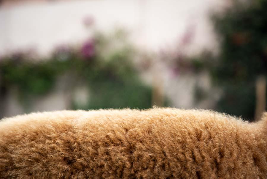 zoom dos d'un alpaga marron dans la nature - pitumarka