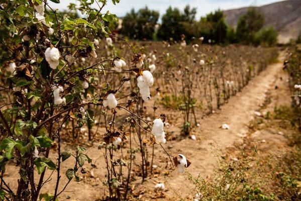 champs coton pima au Pérou - pitumarka